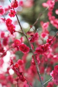 Vertical photograph of Pinkish red, cherry blossom blooms in Spring, with Gren background, photographed at the San Fransisco Botanical Gardens, 2017