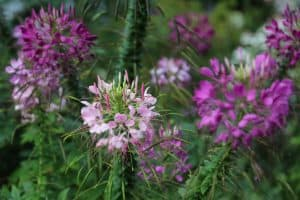 Cleome Purple and Pink Flowers , Rhinebeck, New York