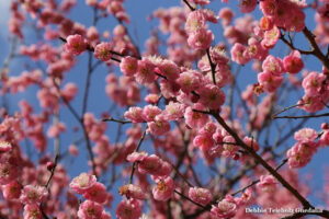 Many Pink Cherry blossom blooms still attached to branches,in Spring, with blue sky background, photographed at the San Fransisco Botanical Gardens, 2017