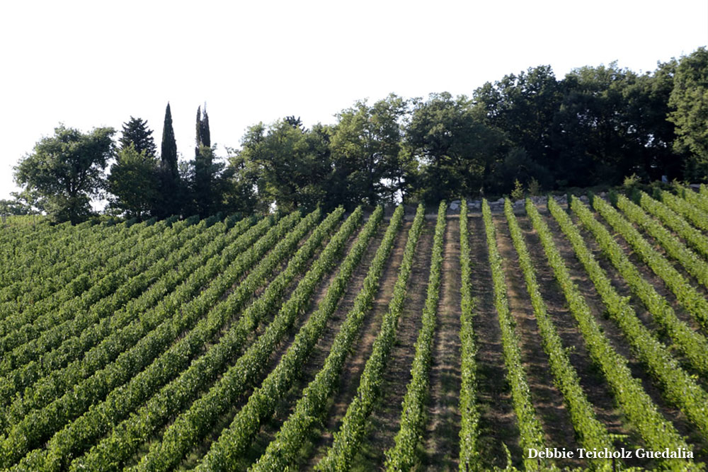 Green Rows of Vines, in Vineyards, Tuscany, Italy, 2019