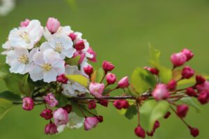 White and Pink Cherry Blossoms on Branch