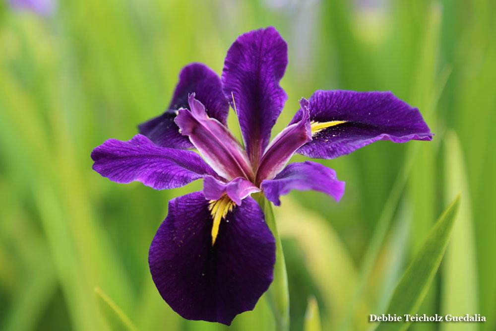 Close up of Purple Iris