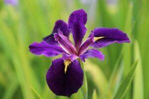 Close-up Purple Iris flower, NY