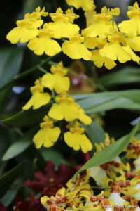 Yellow Small Leaf Orchid