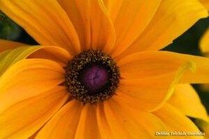 Orange Rudbeckia, Close up Pedals and Pollen