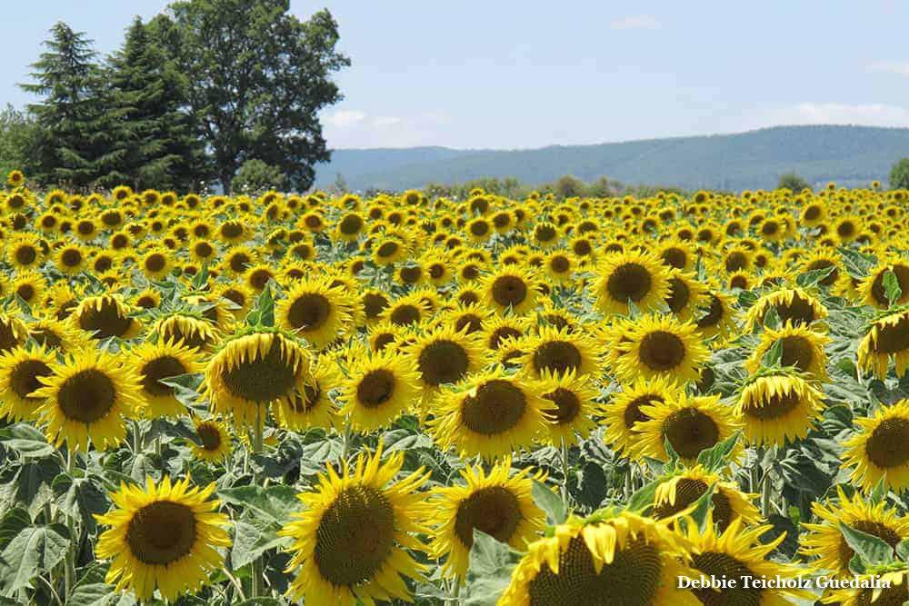 Sunflower Field, Tuscany Italy, 2019